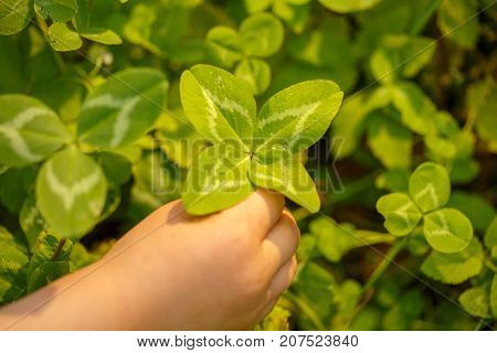 Four-leaved clover in hand. A plant with 4 leaves. A symbol of luck, happiness, success, joy. Concept on the theme of St. Patrick's Day.