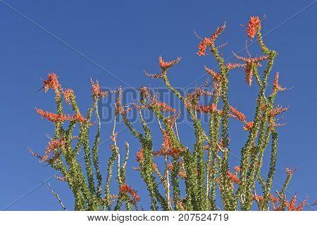 Ocotillo in Full Spring Bloom in Joshua Tree National Park in California