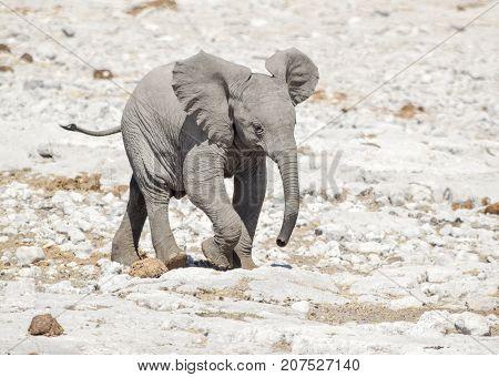 sunny arid savannah scenery including a african bush elephant cub seen in Namibia