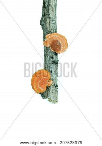 Lingzhi mushroom on a dry twig, on white background
