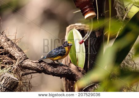 Male Yellow And Blue Violaceous Euphonia