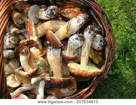 Basket full of fresh boletus mushrooms in forest . Top view .