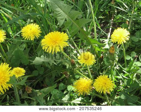 Dandelions in the meadow. Bright flowers dandelions on background of green meadows. Photos for your design.