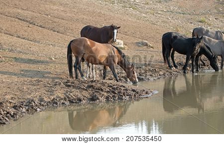 Wild Horse herd / band with baby colt drinking at the waterhole in the Pryor Mountains Wild Horse Range on the state borders of Montana and Wyoming United States