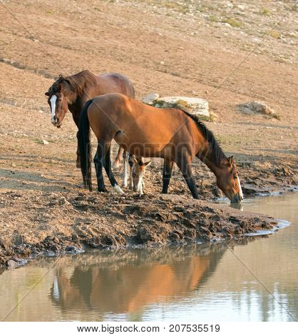Wild Horses - Buckskin Bay mare with dun foal and Chestnut Bay Stallion drinking at the waterhole in the Pryor Mountains Wild Horse Range on the state borders of Montana and Wyoming United States