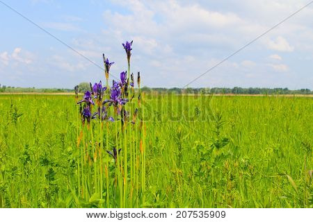 Wild Blue Iris Flowers