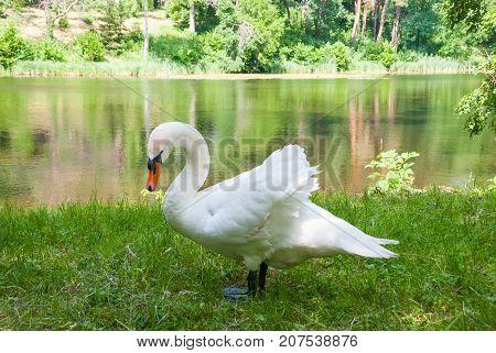 White swan(Cygnus olor) standing near a lake