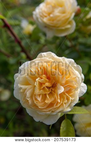 Blooming yellow rose in the garden on a sunny day. David Austin Rose Crown Princess Margareta