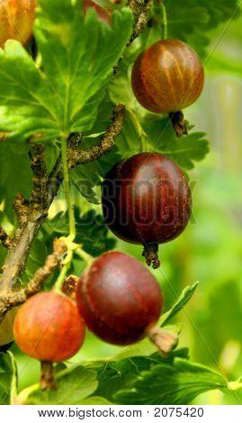 Northern Grapes.