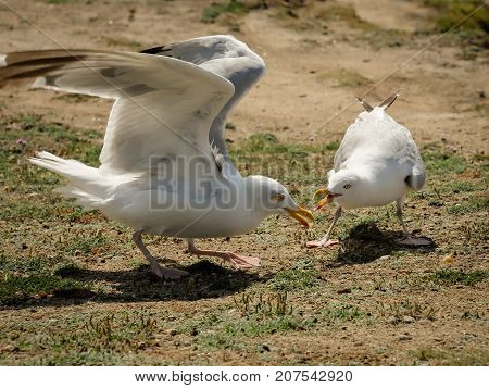 Two Seagulls Fighting For Food On The Ground