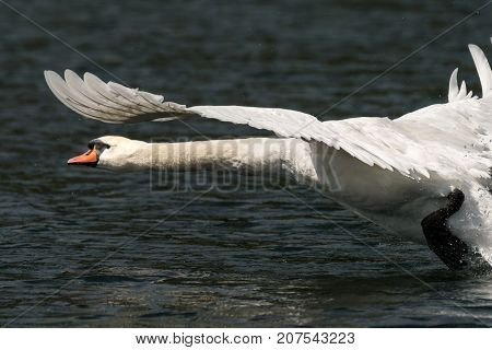 A Mute Swan Taking Off From The Water