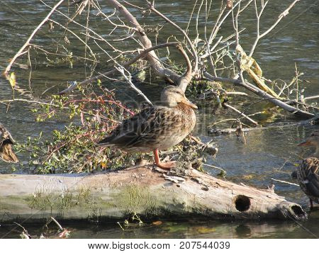 Wild duck relaxing on the tree in the river