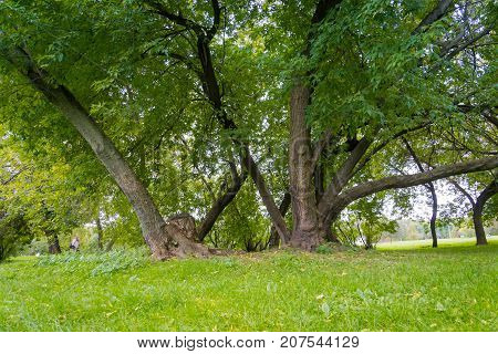 Green Crooked Trees In The Park