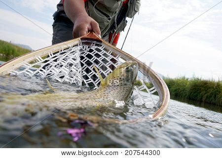 Brown trout being caught in fishing net