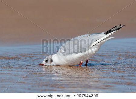 A Black-headed Gull Drinking Water On The Beach