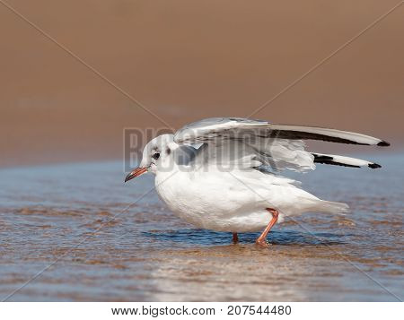 A Black-headed Gull Bathing On The Beach In A Puddle Of Water