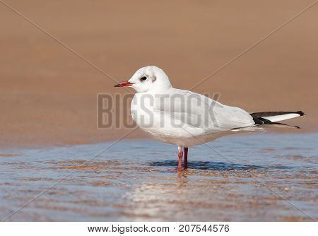 A Black-headed Gull Standing In A Puddle Of Water On The Beach