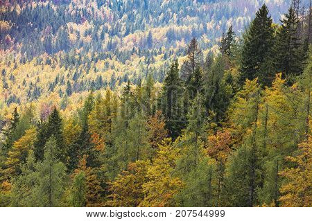 Colorful and healthy deciduous and coniferous trees in the early autumn morning. Autumn forest. Disapperaring forests because of the excessive logging.