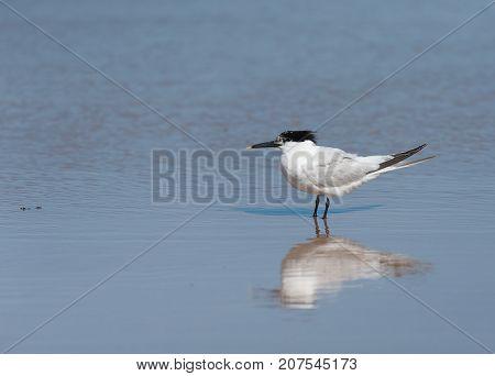 A Sandwich Tern Standing On The Beach