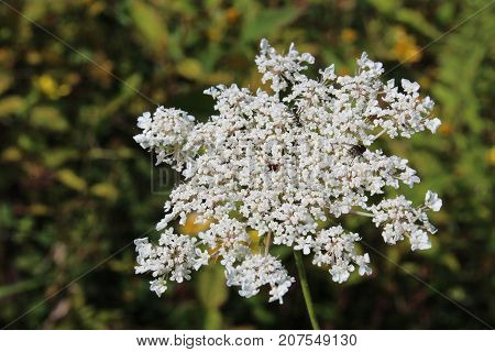Queen Anne's Lace American wildflower in full bloom, horizontal aspect