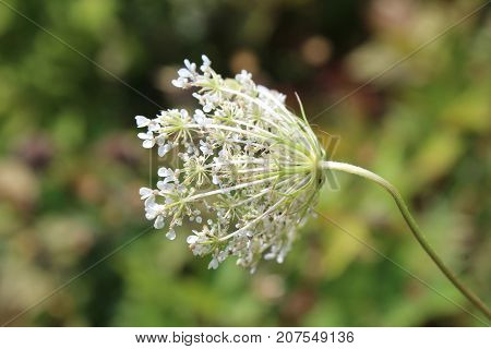 Queen Anne's Lace white wildflower opening, seen from behind, horizontal aspect