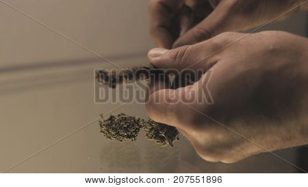 Roll A Weed Buds Blunt In Man Hands Close-up. Twisting  Jointwith The Buds Of Marijuana Inside.
