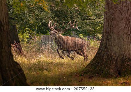 Red Deer Stags (Cervus elaphus) Rutting Mule Deer Bucks walking in a very light snowfall