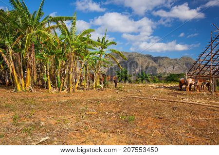Famous Cuba farmland tobacco area Valley de Vinales Pinar del Rio Cuba.Traditional drying shed tobacco plantation.