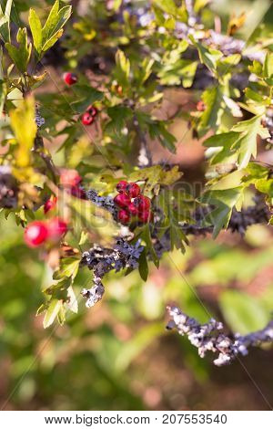 Red hawthorn berries on green and yellow tree in autumn