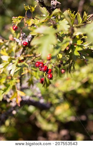 Red hawthorn berries and leaves in autumn