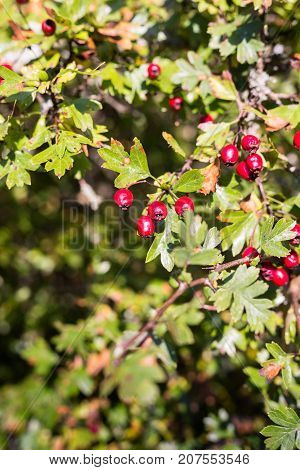 Red hawthorn berries in autumn close up