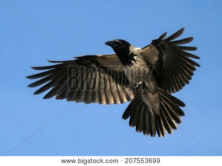 Crow Hover Open Wings Bird Flying Up