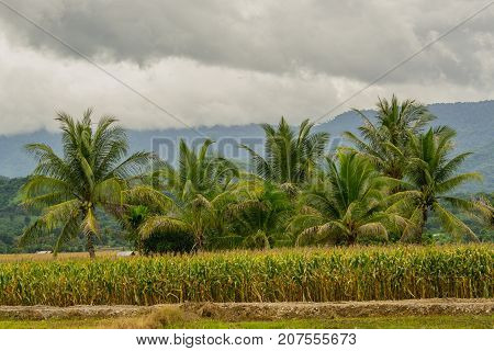 The green coconut group is in the center of the corn field beside mountain and blue sky with clouds