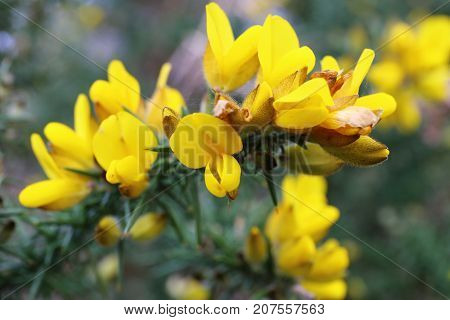 flowering common gorse (Ulex europaeus) in Brittany France