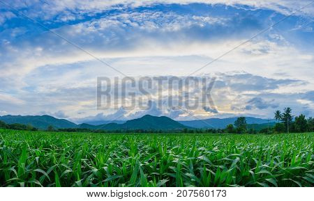 young green corn field in agricultural garden beside mountain and blue sky with clouds