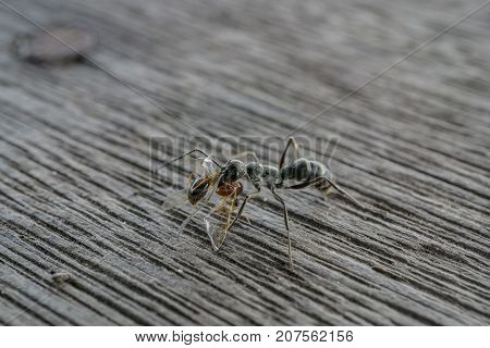 close up black ant with red ant in the mouth for food on old wood floor