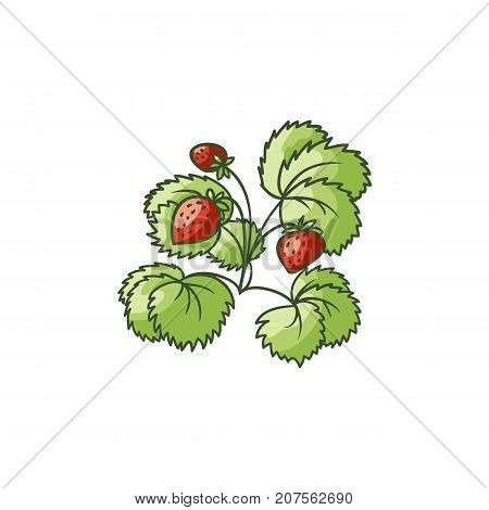 Strawberry plant, bush with green leaves and ripe red berries, flat cartoon vector illustration isolated on white background. Garden strawberry plant with green leaves and ripe red berries