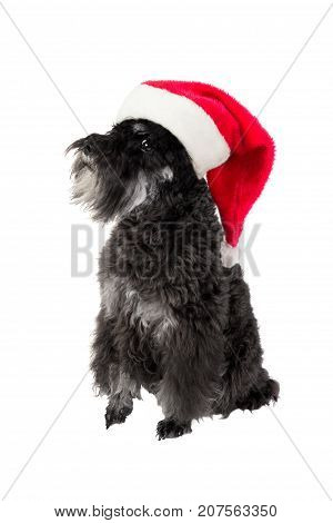 Christmas. Small black dog (Miniature Schnauzer) in Santa's hat. Symbol of new year 2018. Isolated on white background.