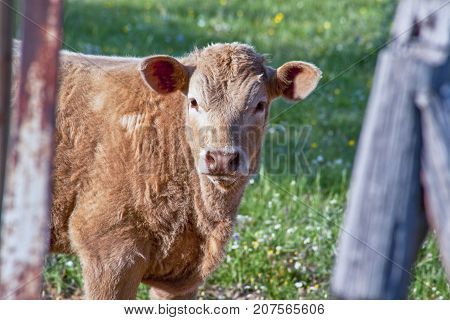 Red retinta calf grazing at Alor Mountains Dehesas. San Jorge de Alor Badajoz Spain