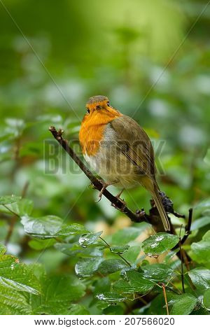photo of a beautiful little Robin red breast