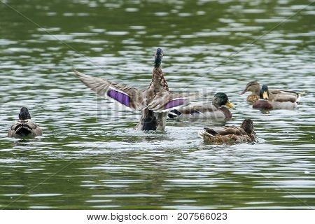 photo of an adult Mallard duck flapping it's wings