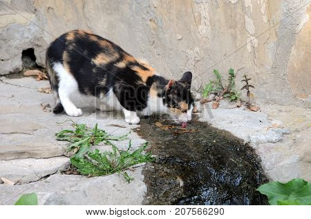 Stray three-colored cat drinks water in the Old Town of Veliko Tarnovo in Bulgaria