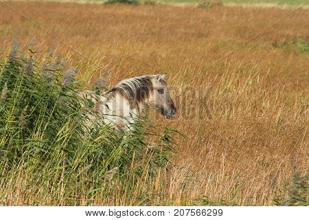photo of an adult Konik horse in long grass