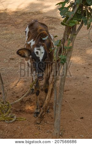 photo of a young calf standing under a tree