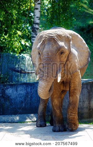african elephant on beautiful sunny day in zoo