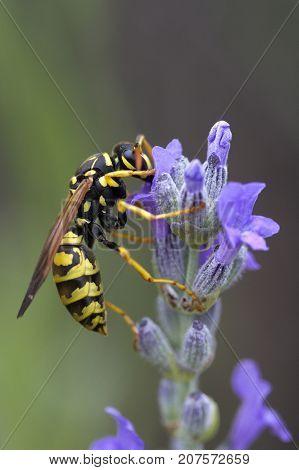 Closeup image of a Wasp on Lavandula (Lavender)