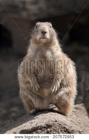 A full length portrait of a black tailed prairie dog standing on a rock and facing forward in an upright vertical format