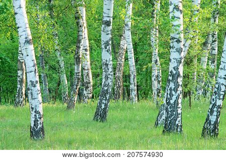birch grove in the forest in the early morning summer green foliage