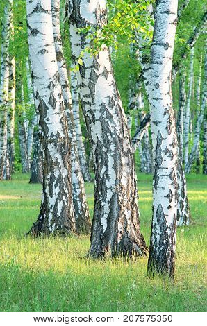 birch grove in the forest in the early morning tree trunks close-up summer green foliage vertical composition