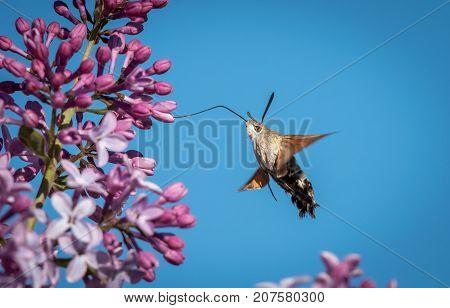 Hummingbird Hawk-moth Feeding On Blossoms Of Lilac